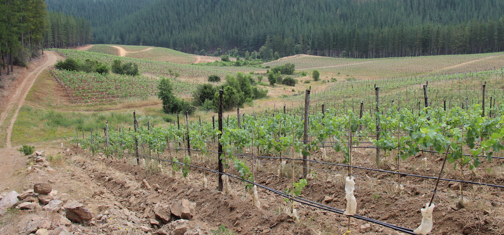 Vineyards amid pine plantations; Chile's logging industry is a big threat to vineyards