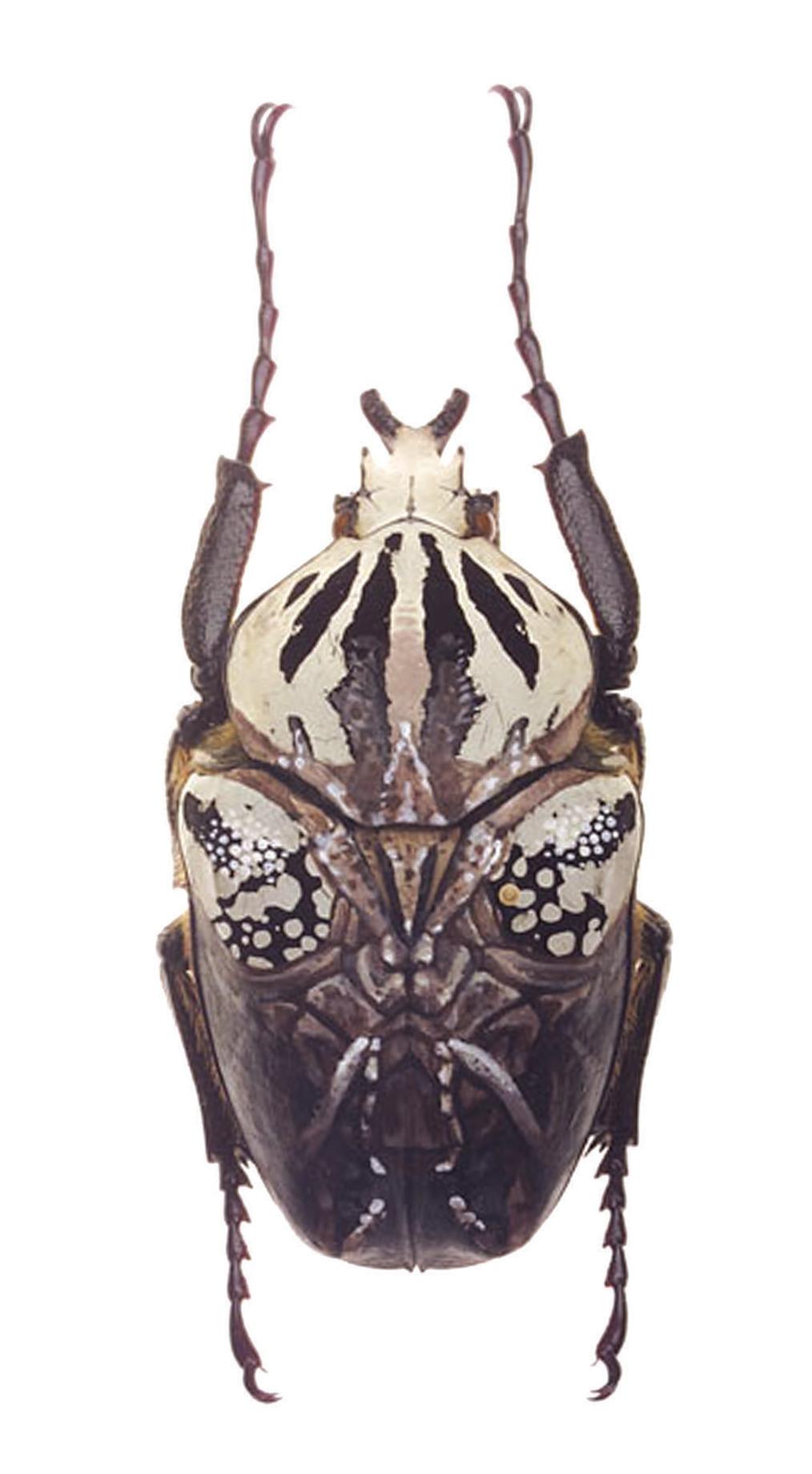 "Mantis-Goliath.  2005 - acrylic on beetle. 3"" x 1.5""."