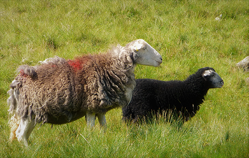 6-Herdwick-ewe-and-lamb.jpg