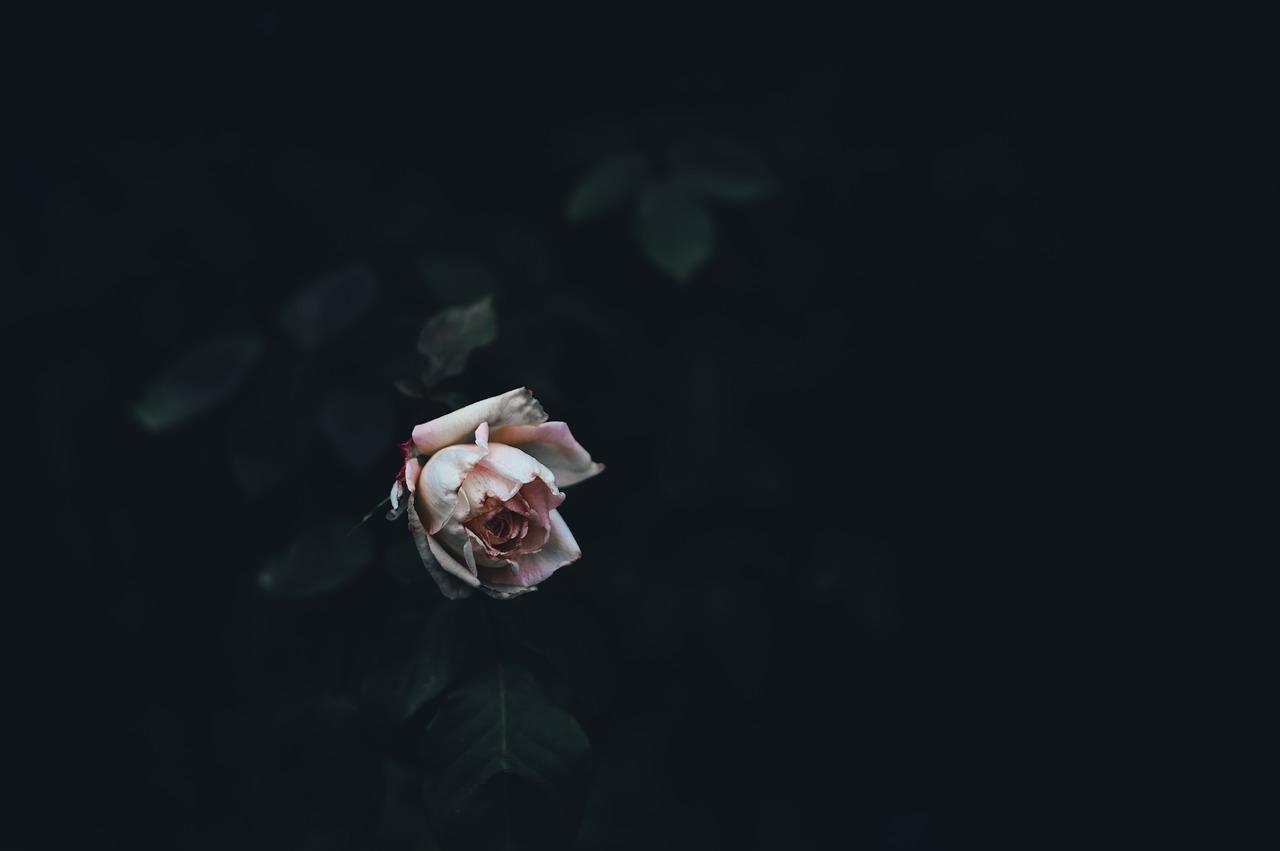 dark-rose 1280.jpg