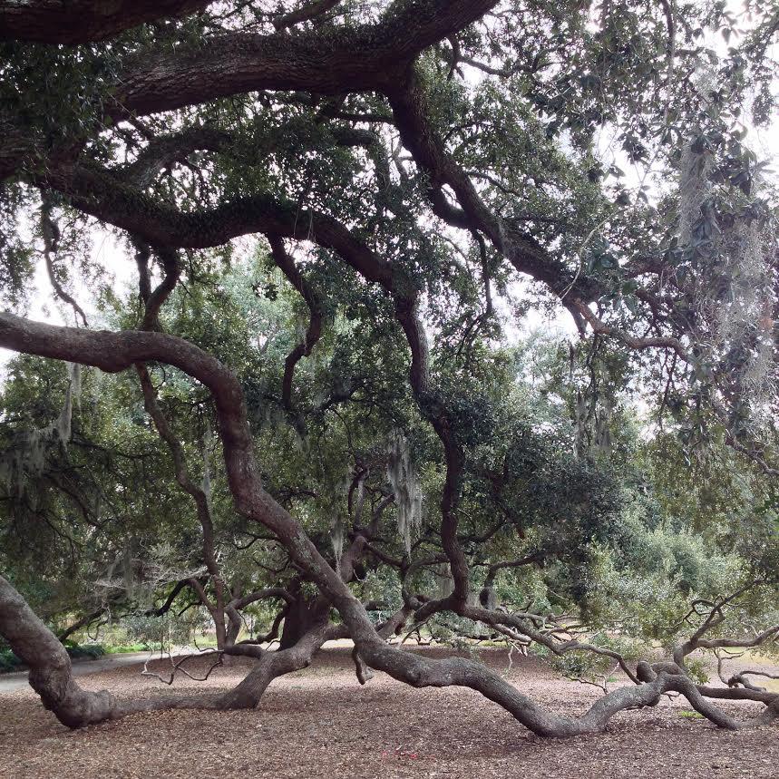 live-oak.jpg