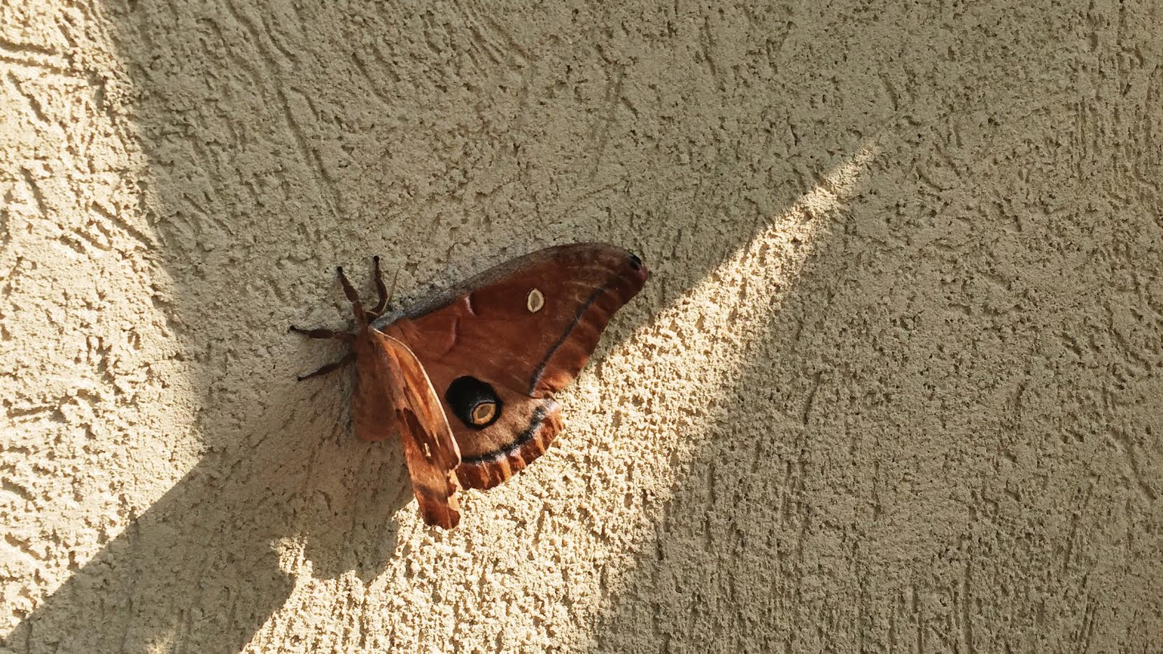 Photo credit:   Amelia Quint  |  Antheraea polyphemus  moth; a member of the  Saturniidae  silk producing   family