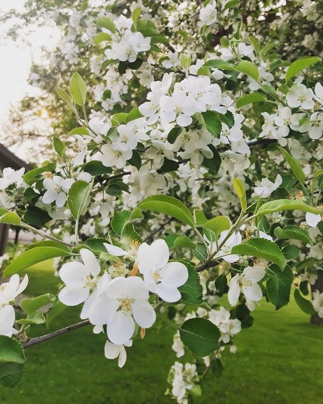 Happy Friday.  #finallyfriday #hazyskies #appleblossoms #countrylife