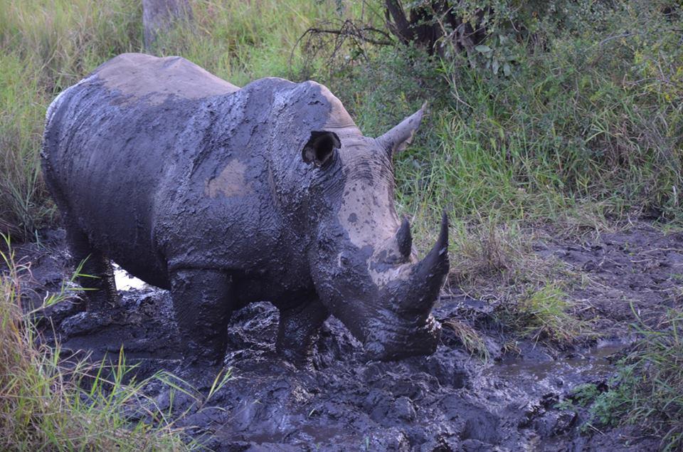 rhinocerous.jpg