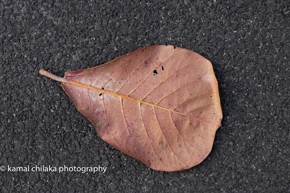 Shot on Fujifilm XT-3 with 18-55mm f 2.8-4.0 lens at 55mm f 6.4 and 1/80 sec unedited . The Leaf is focus and due to the small aperture even the texture of the road is sharp. This image is a 144 dpi jpeg of the original RAW image.
