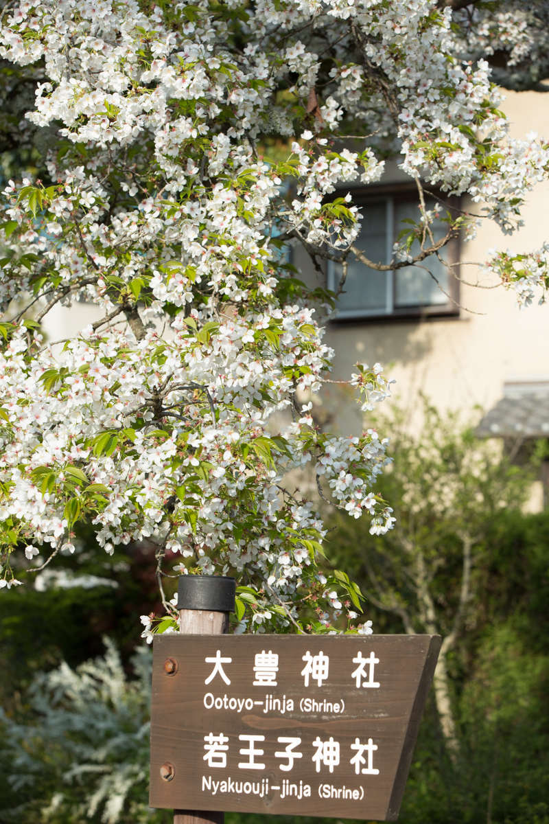 Cherry Blossoms and Sign along the Philosophers Path
