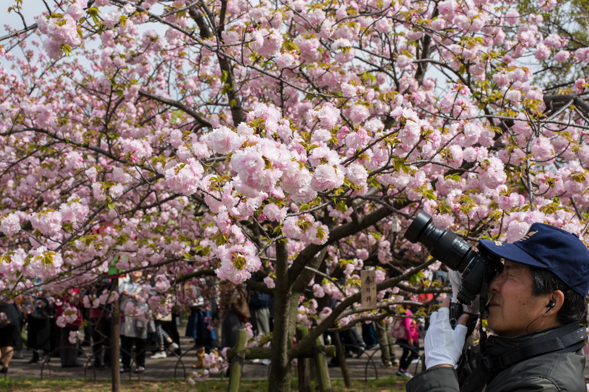One of many photographers who come to shoot the Cherry Blossoms