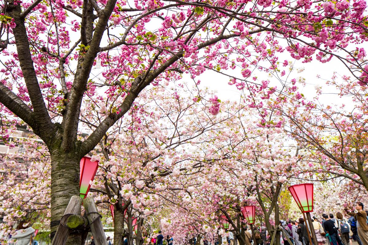 Cherry Blossoms at Osaka Mint Bureau