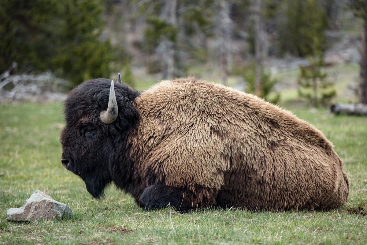 American Wild Buffalo at Yellowstone
