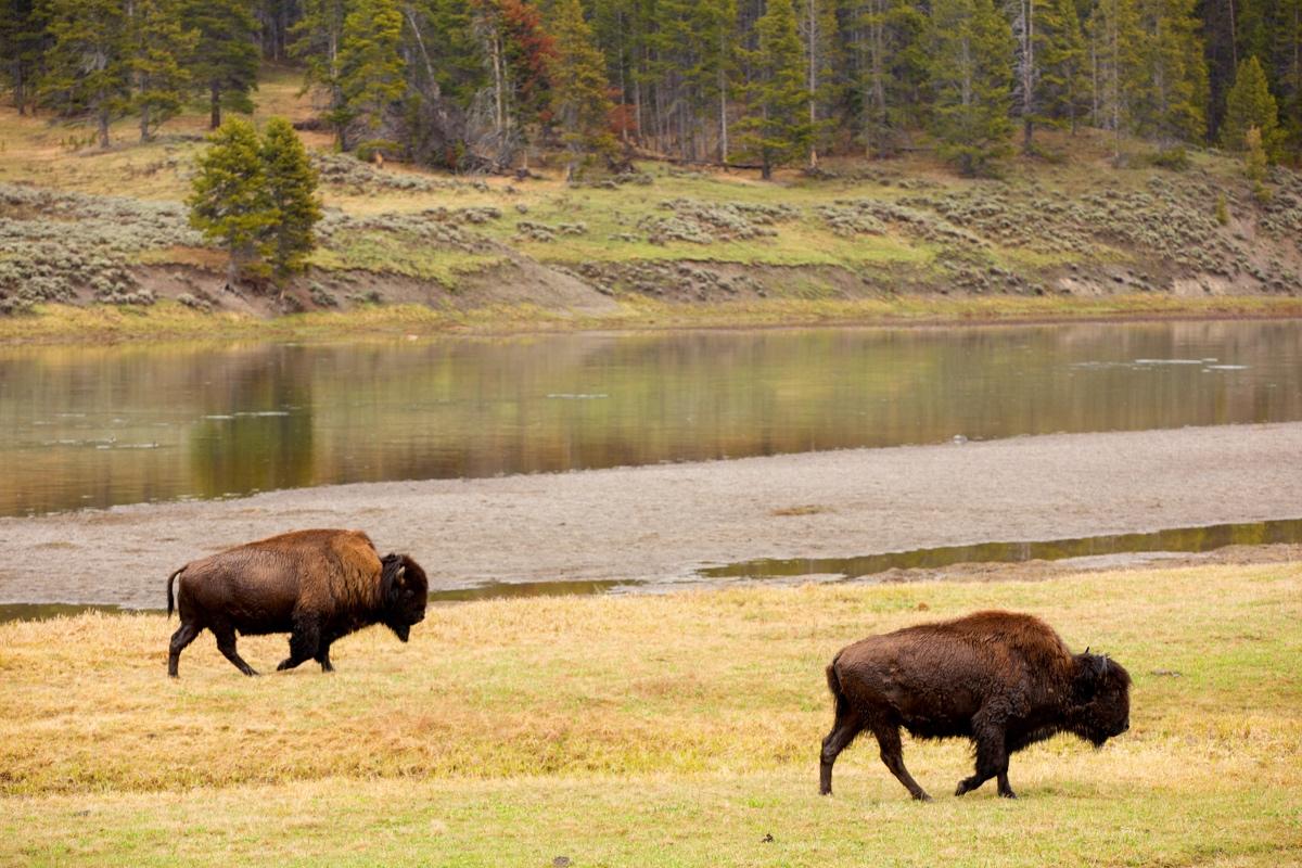 Buffalo near Lamar Valley