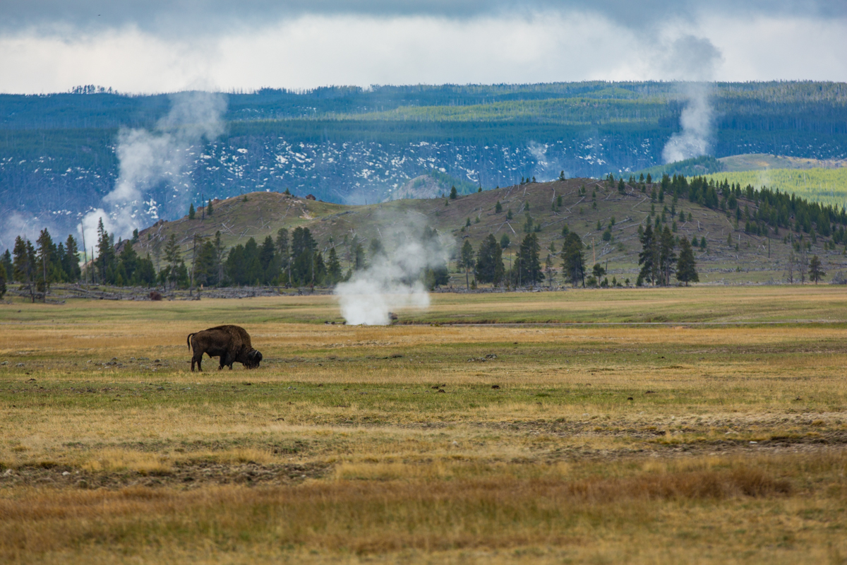 Buffalo grazing near Steam Vents, Yellowstone