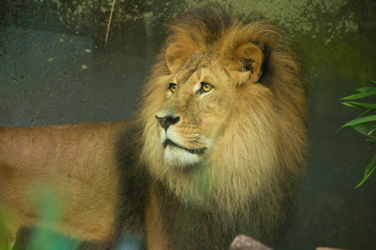 Male Lion at Sydney Zoo