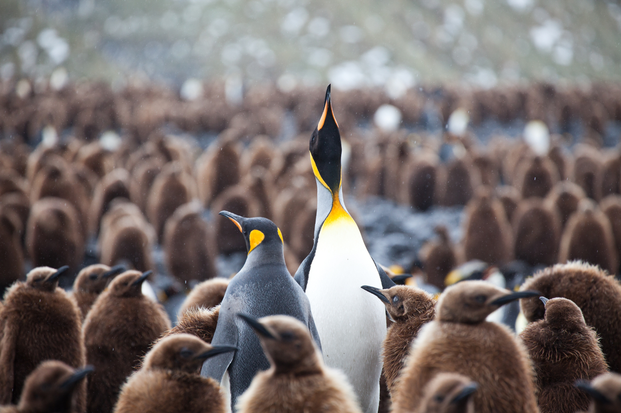 A pair of adult King penguins amongst thousands of fluffy chicks at Right Whale Bay, South Georgia. Photo: Lauren Farmer