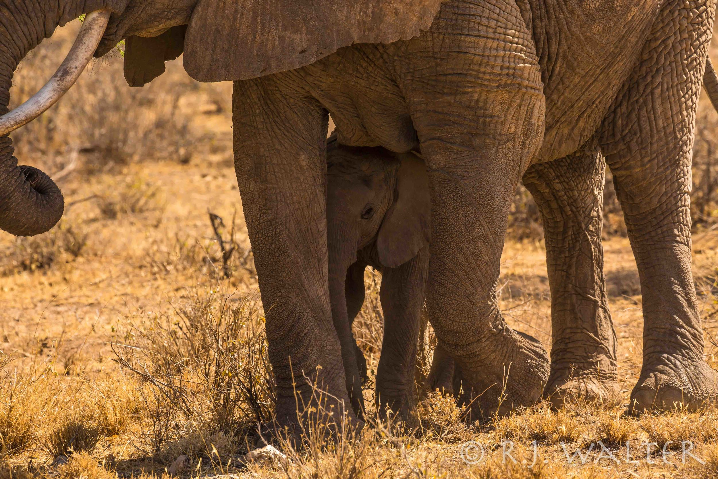 RJWalter_Save The Elephants_Samburu, Kenya_March 2015-2013.jpg