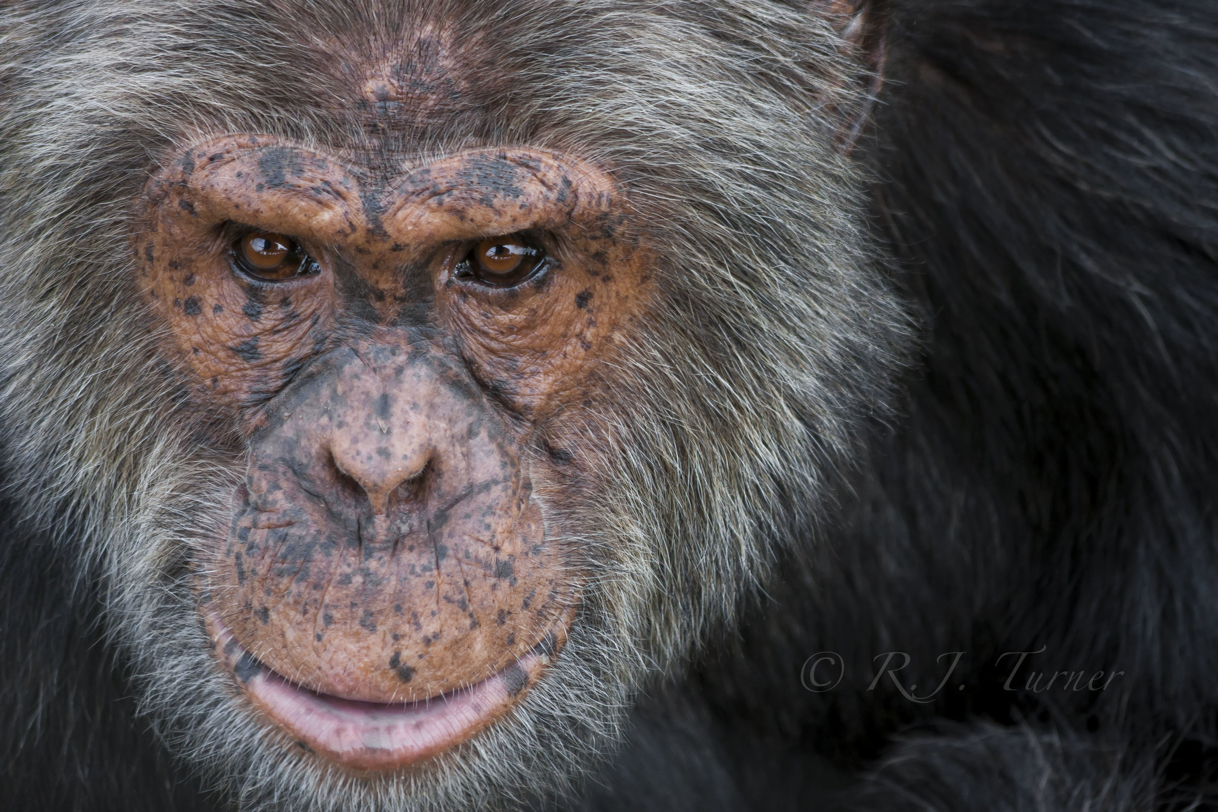 In 2018 R.J. Turner's image,  Tumbo , was selected to be a part of the conservation project Remembering Great Apes. Her image will appear in the coffee table book  Remembering Great Apes , and will also be on display at La Galleria Pall Mall in London, England this October. With all profits going directly to help great apes all over the world, R.J. is thrilled to be involved for the second time with the project Remembering Wildlife. To learn more visit: https://rememberingwildlife.com/remembering-great-apes/