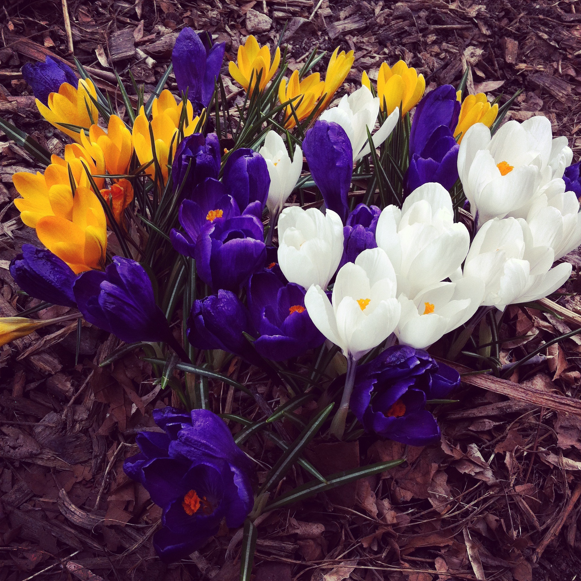 [image: The ground is covered in mulch. Bright yellow, purple, and white crocus flowers are blooming together.]