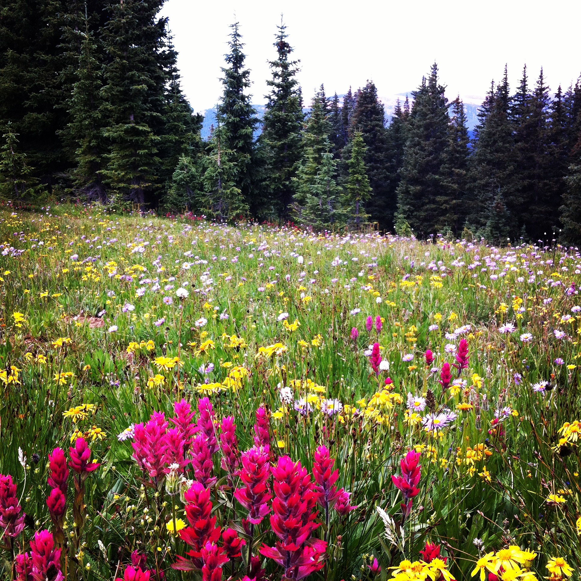 [Image: A mountain meadow is filled with bright pink Indian Paintbrush flowers and other yellow and white flowers. The grass and the pine trees at the edge of the meadow are all green. The sky is white.]