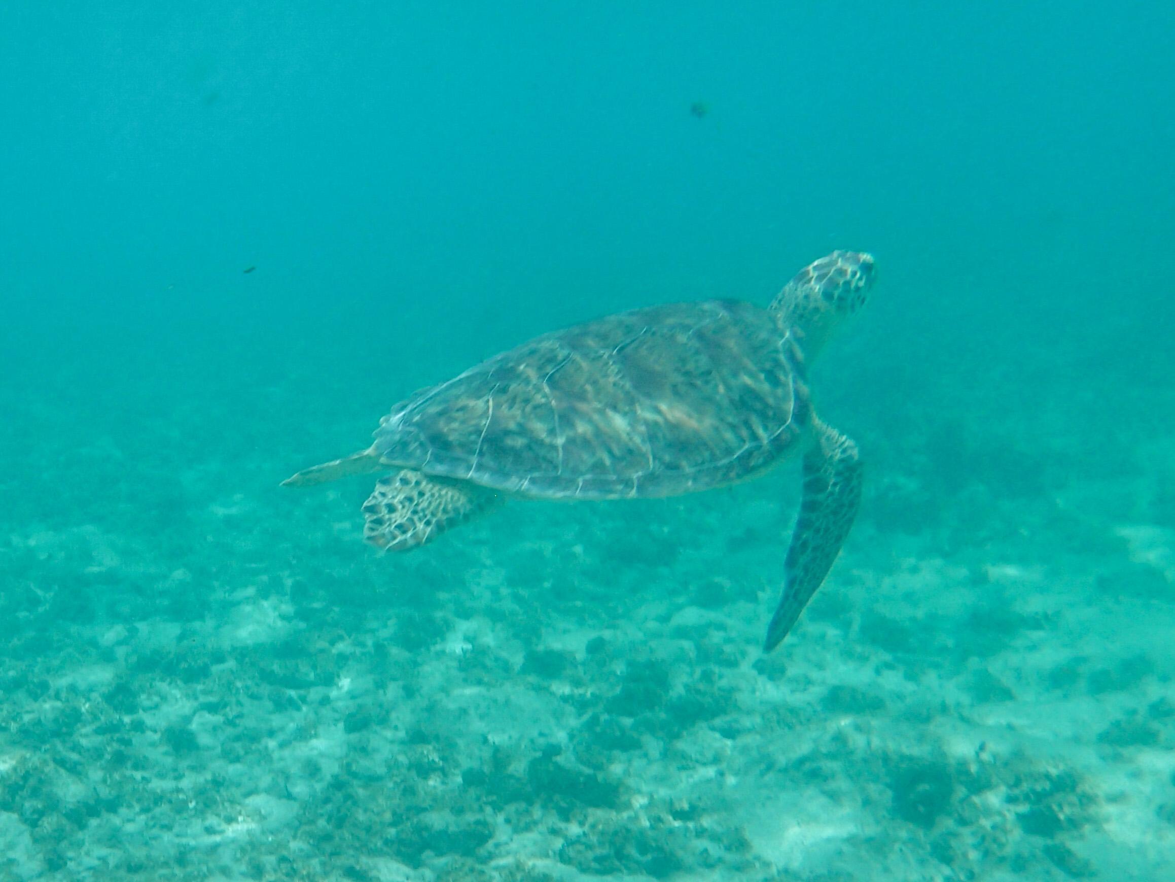 sea turtles cayman