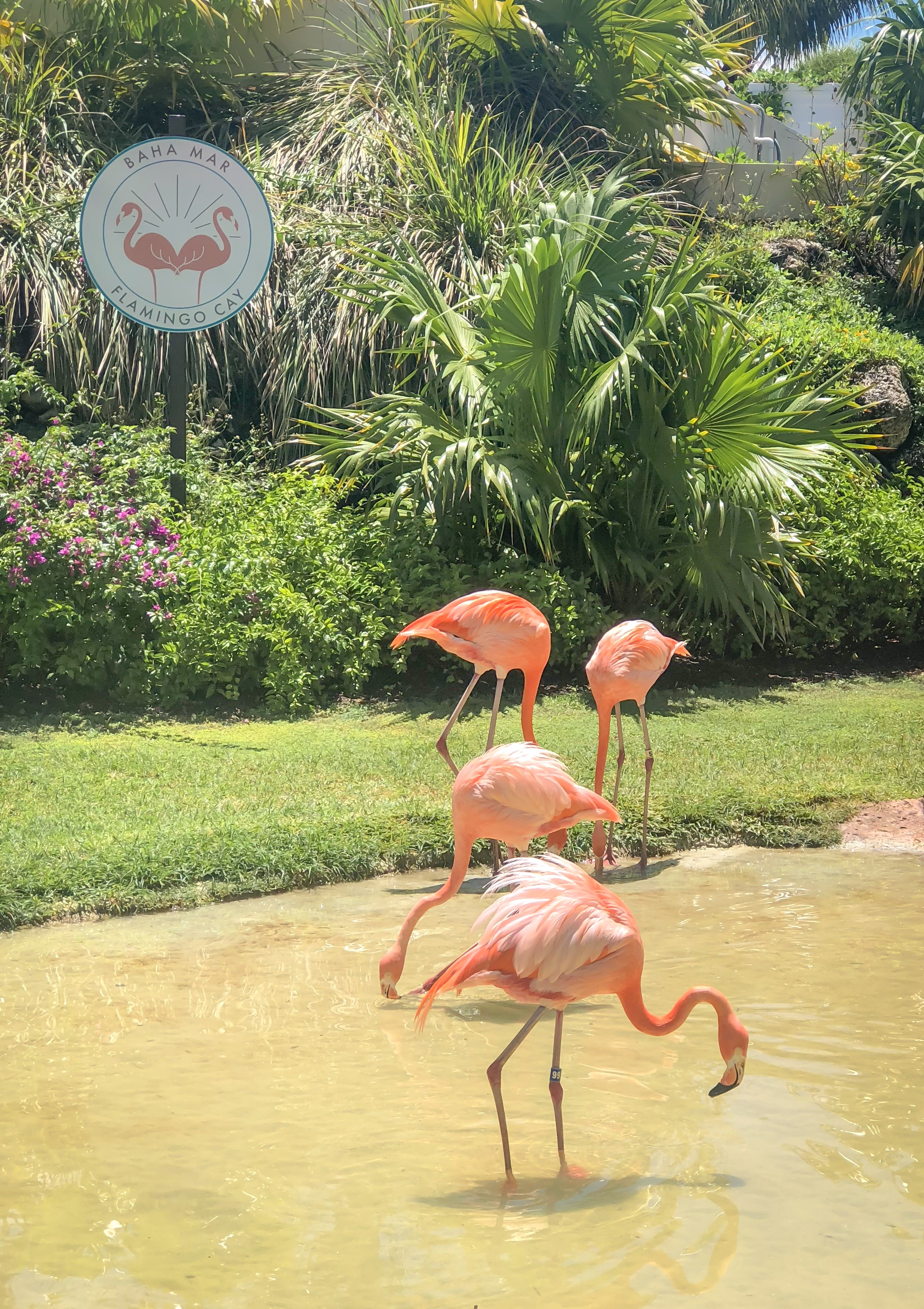 Baha Mar Flamingos www.caribbeansnowflake.com.JPG