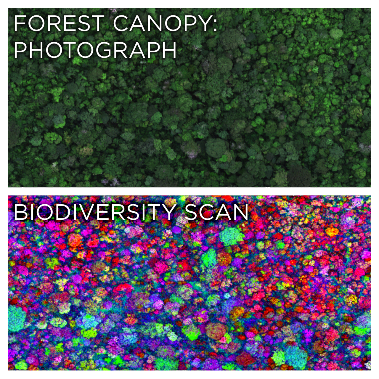 """npr :      skunkbear :     The top image is a photograph of a lush rainforest canopy. The bottom image colors each tree based on its species.   How? It's all thanks to a special lab built by  ecologist Greg Asner inside a twin-turboprop airplane. From a few thousand feet up, the Carnegie Airborne Observatory uses lasers, spectrometers and other instruments to build a detailed 3-D model of a forest,  identify different species of vegetation  and quantify carbon sequestration. It's a lot quicker than tramping through the jungle and taking these measurements on foot.   A fun tidbit from  the full story : """"On one occasion, he and his team mapped more than 6,500 square miles of the Colombian Amazon at night — about the size of Connecticut plus Rhode Island — flying with all their lights out to  avoid being shot at by the FARC, the Colombian rebel force. """"   Images: Greg Asner, Carnegie Airborne Observatory      I've heard a lot about the biodiversity of the rainforest, but I've never had the opportunity to see it in such stunning colors! - Tajha      Amazing"""