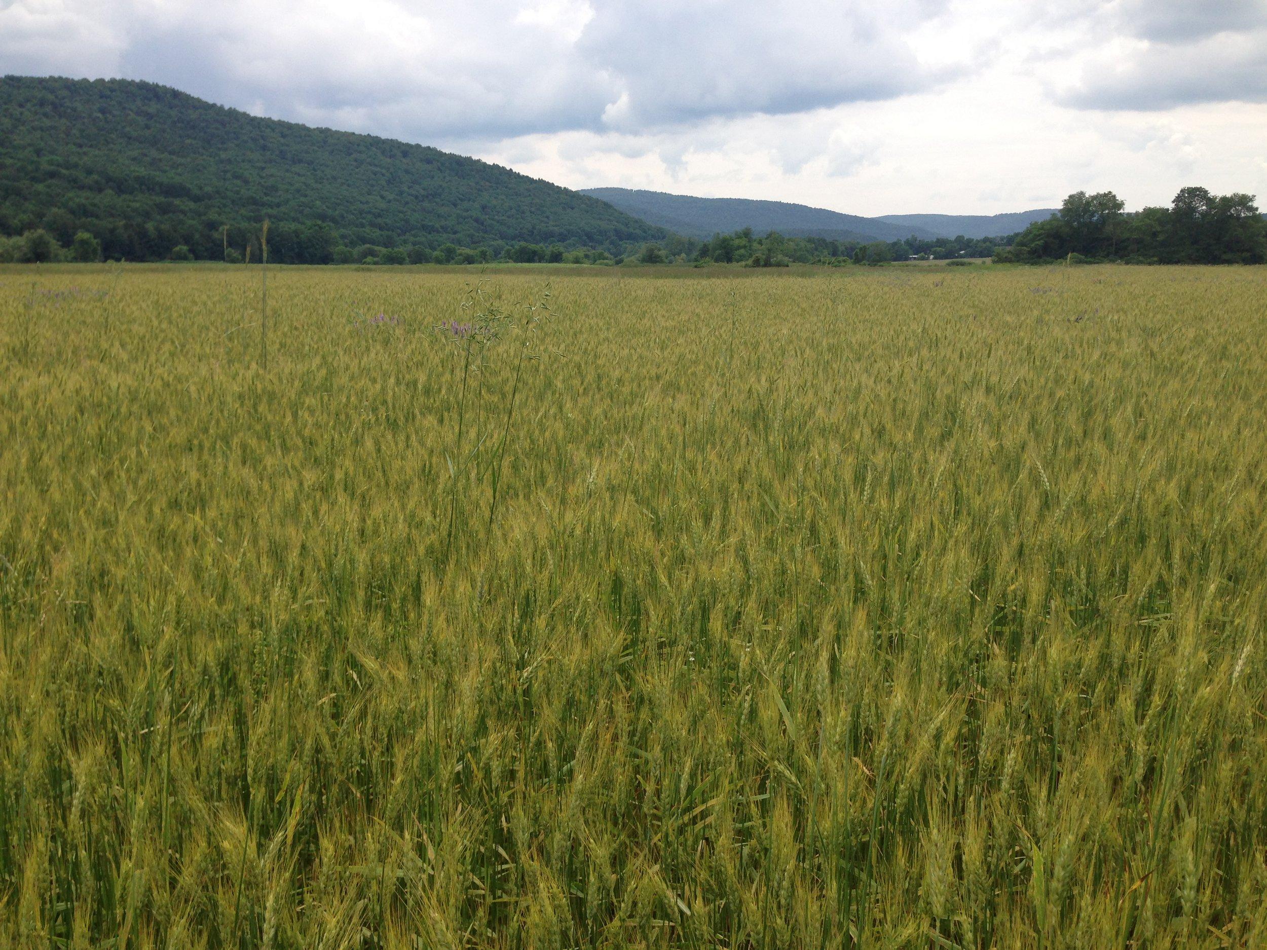 catskill wheat may copy.JPG