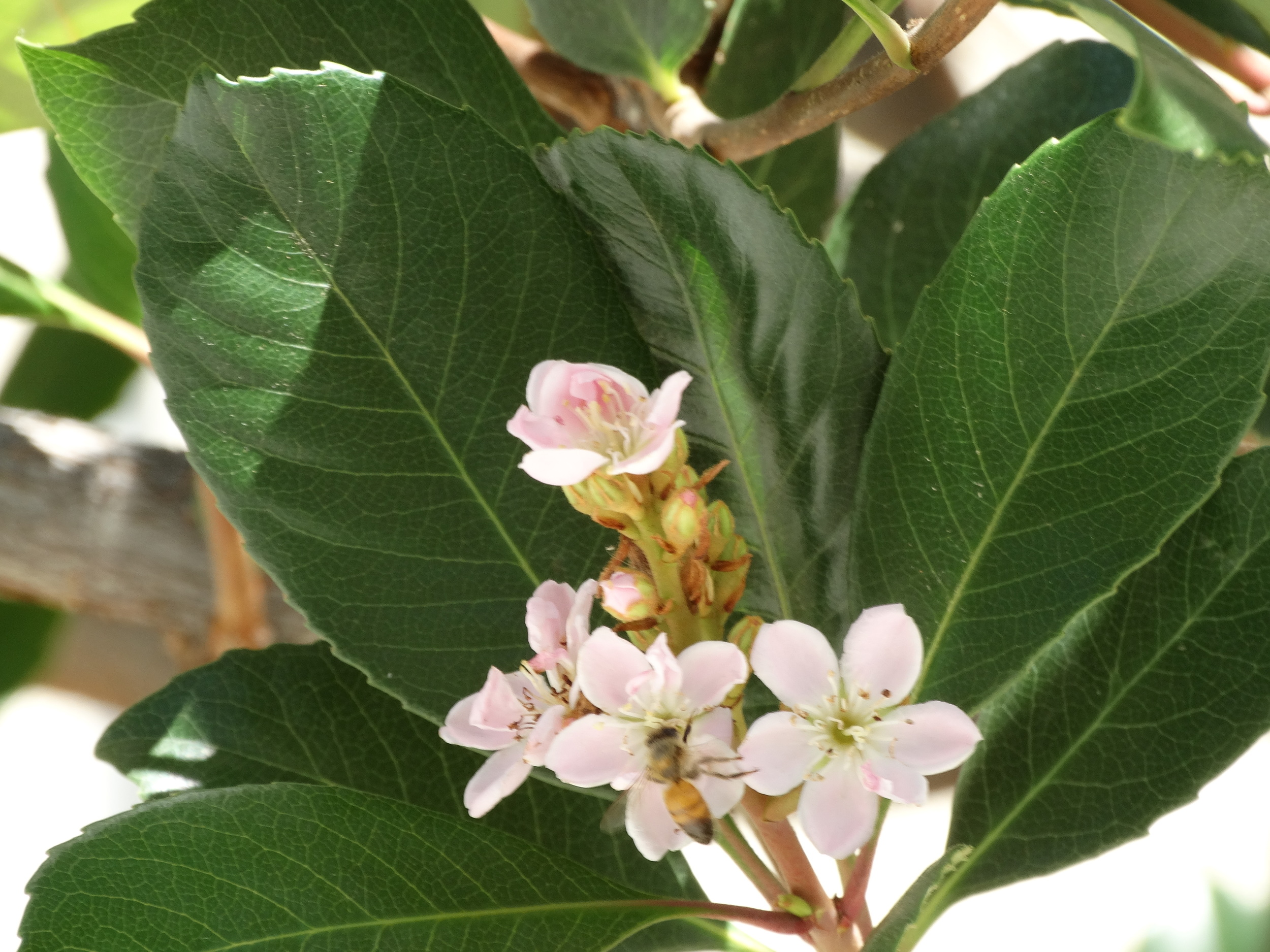Bee on Flowers2.JPG