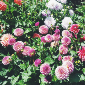Dahlias for days at Butchart Gardens on Vancouver Island