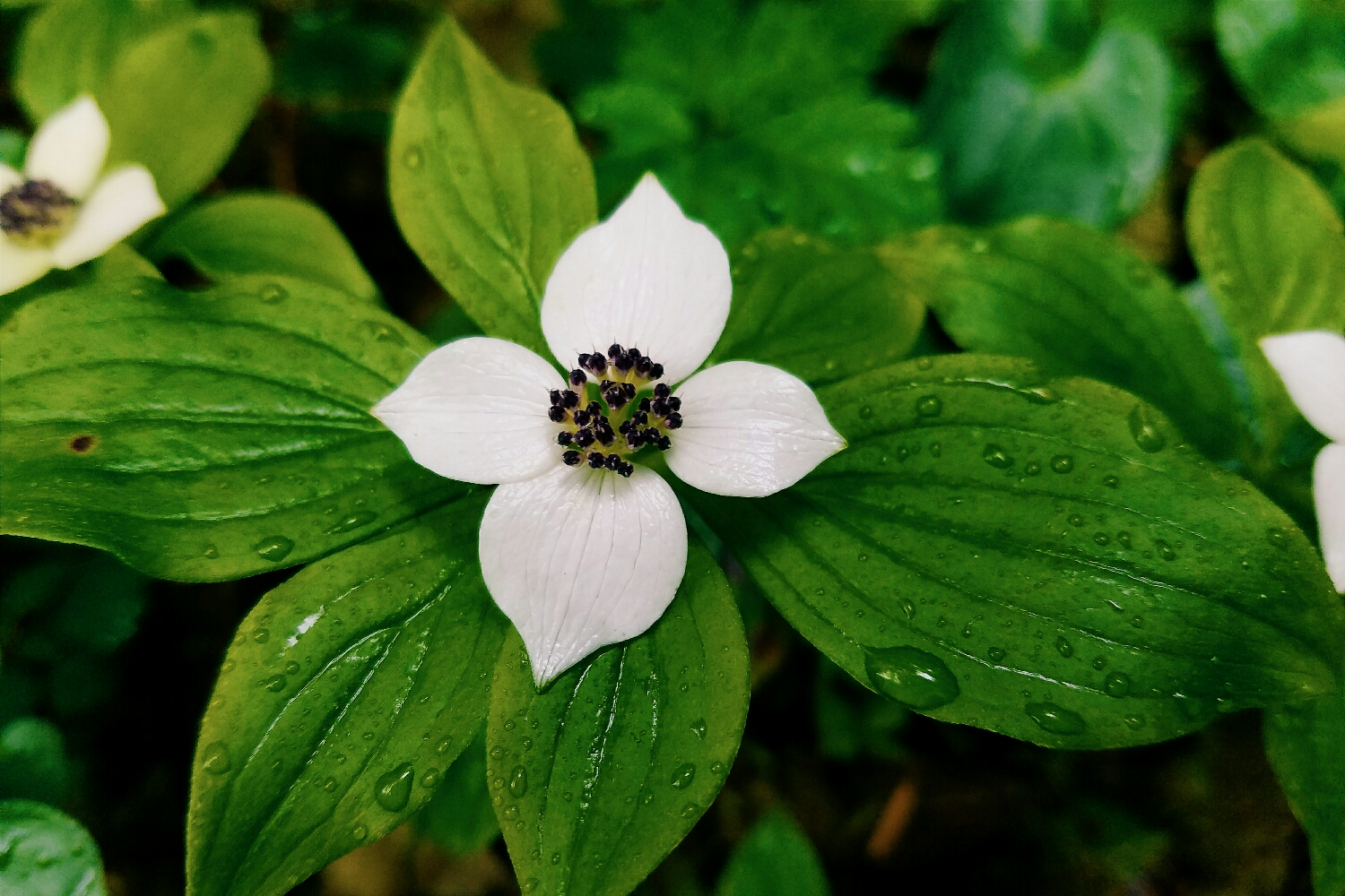 Dainty little bunchberry was blooming in several places along the trail. There's something I can't resist about dogwood of all varieties!