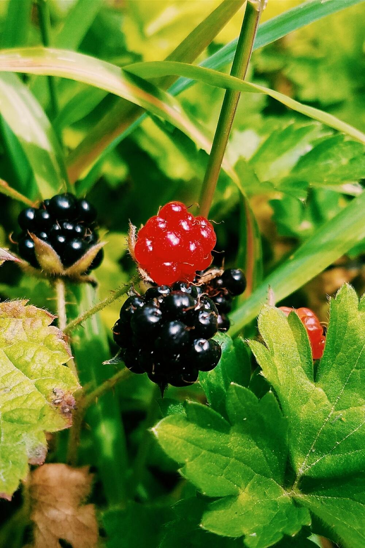 Blackberries in June?
