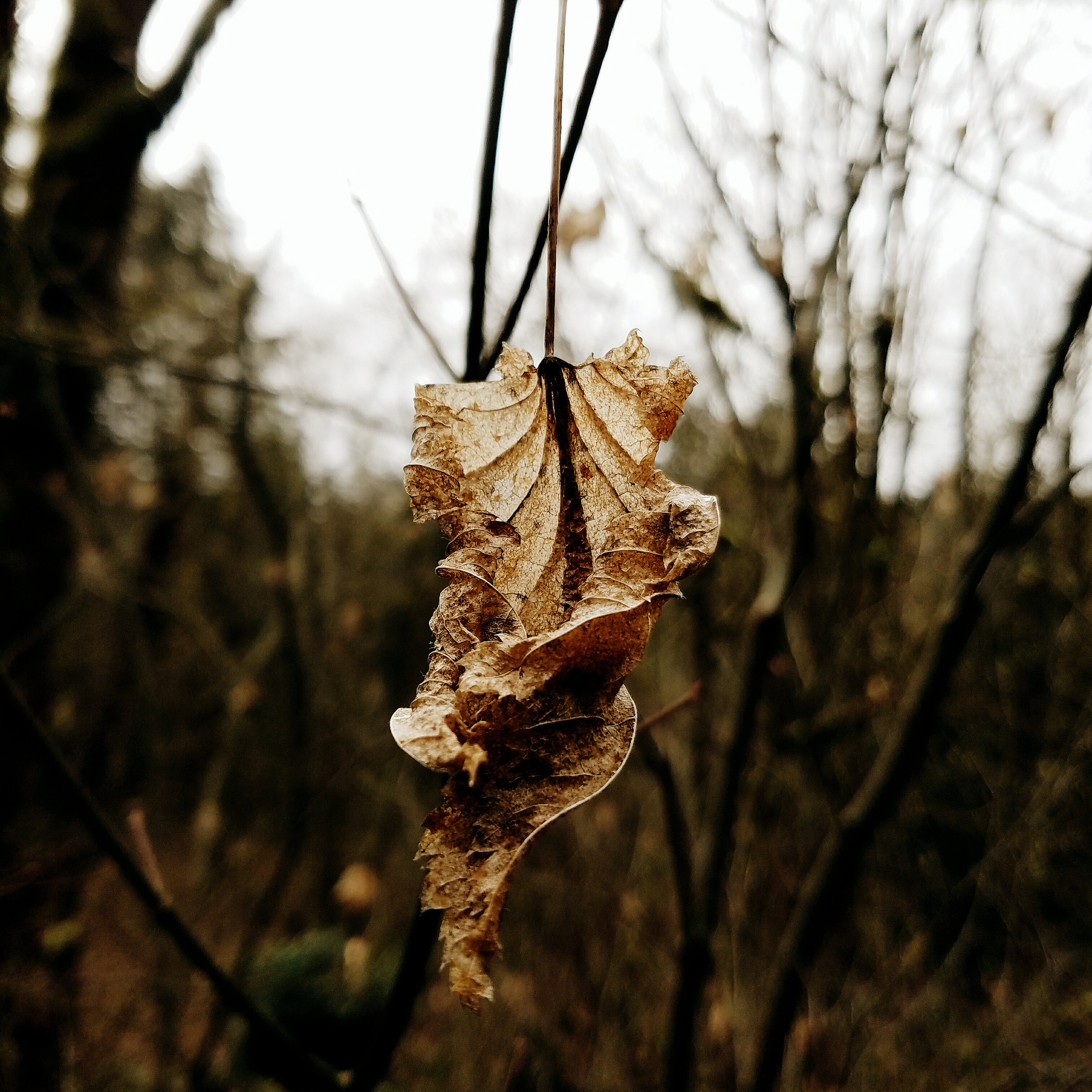 Ghost leaves haunting the branches through winter