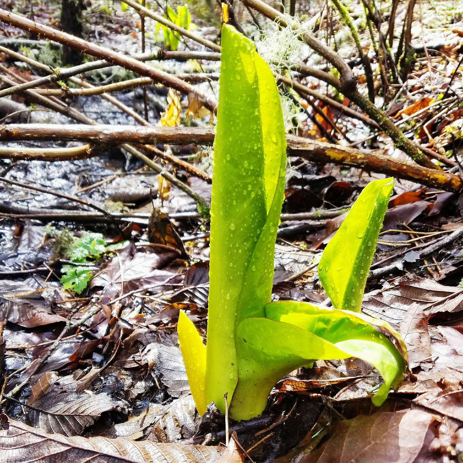 Favorite signs of spring #2: skunk cabbage - sunny and oh so stinky