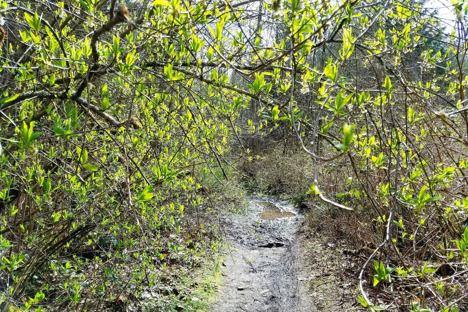 Spring trails in the PNW: tons of green and tons of mud!