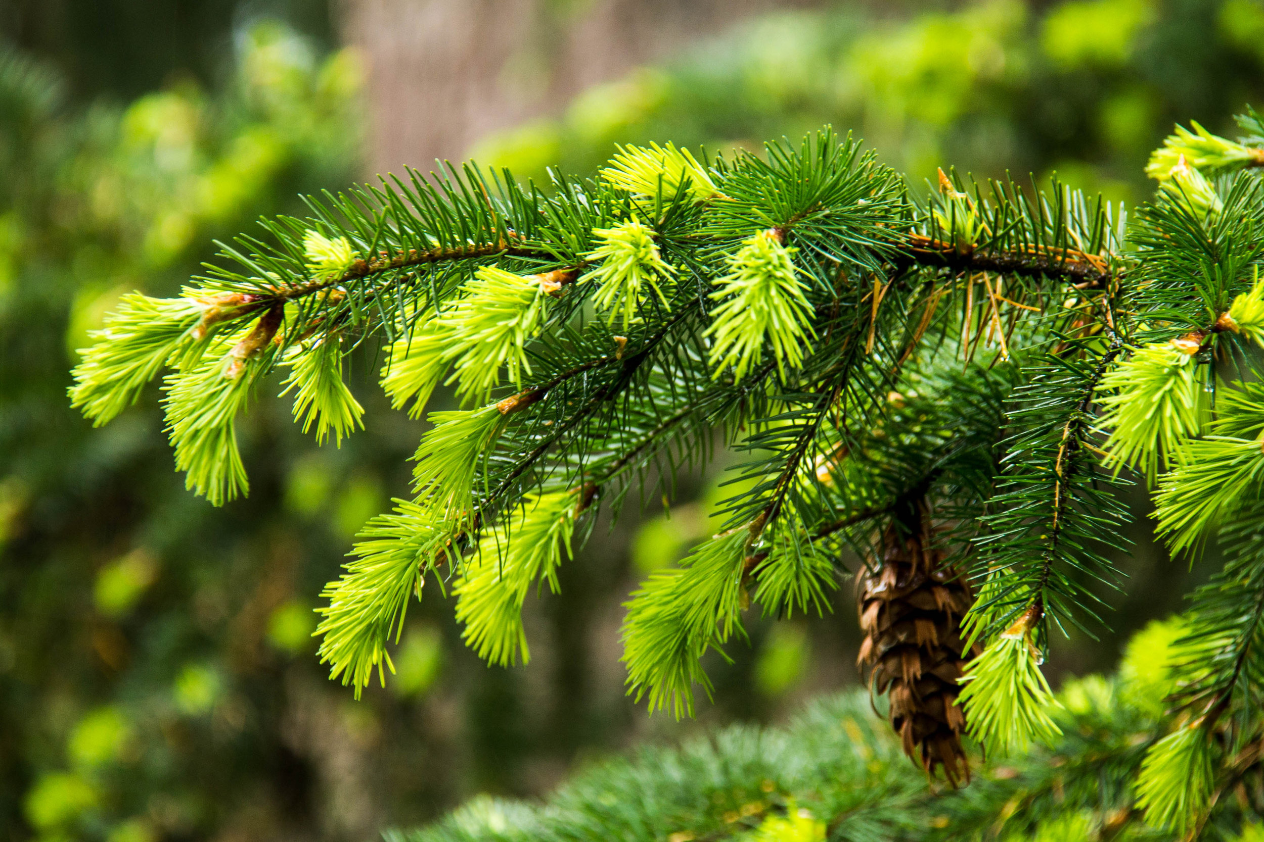 The view out my window all week has been of the new spring growth of conifers