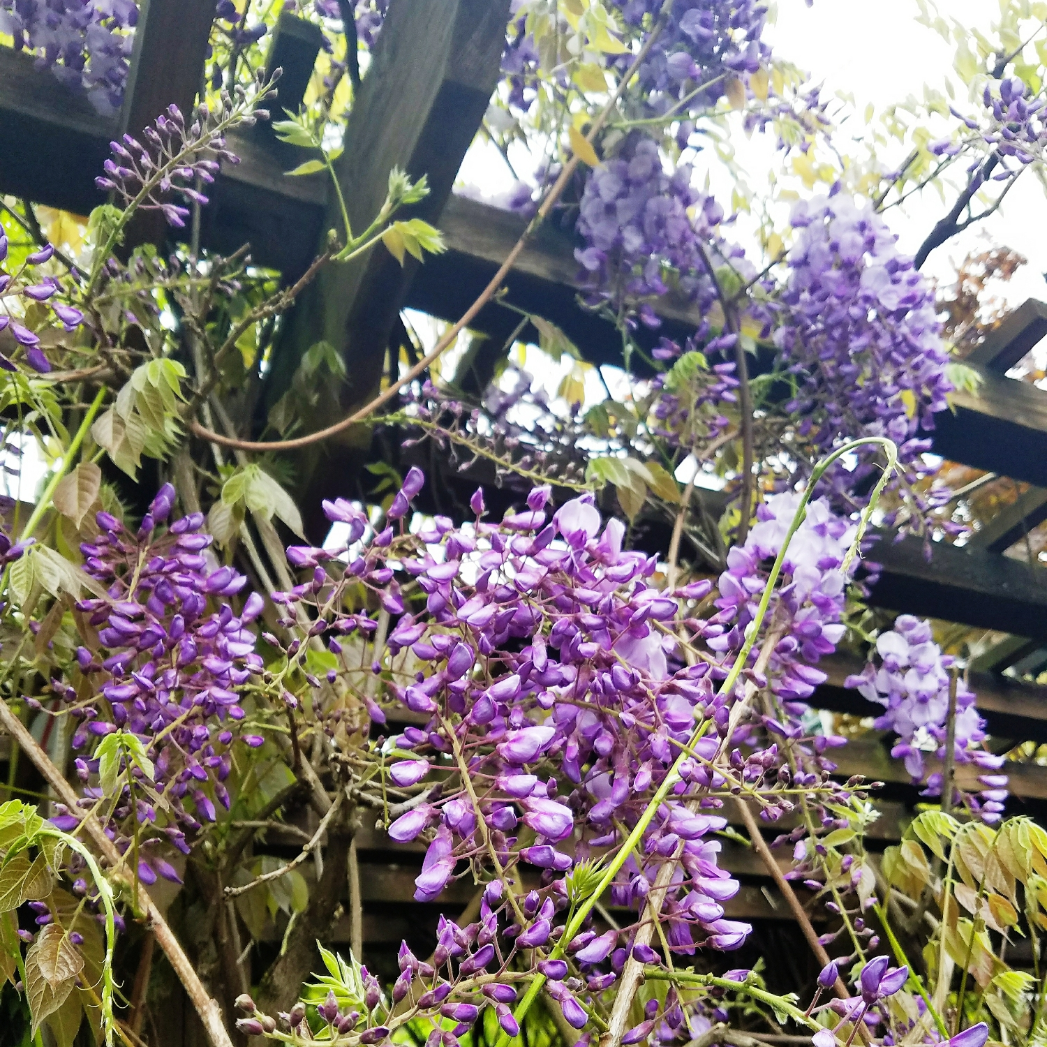 Lovely wisteria blooms trailing over the walkway to another building in our apartment complex