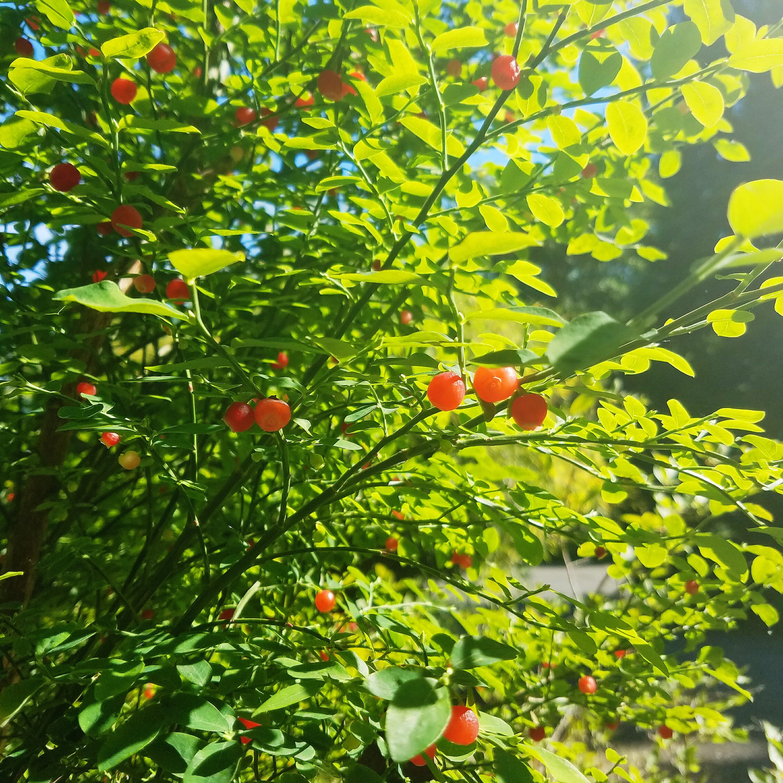 the huckleberries aren't quite ripe, but soon!