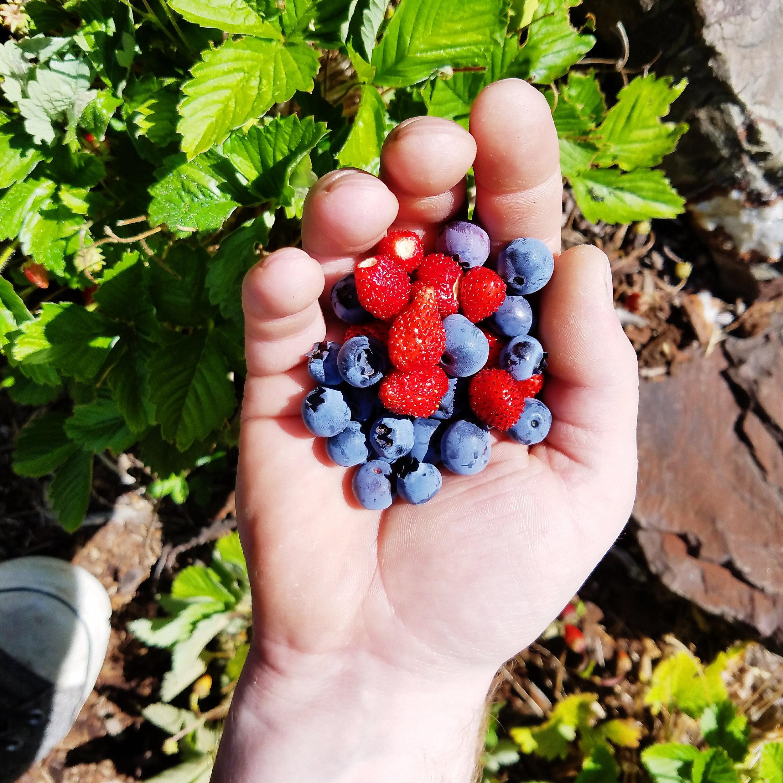 Berries in my parents yard!