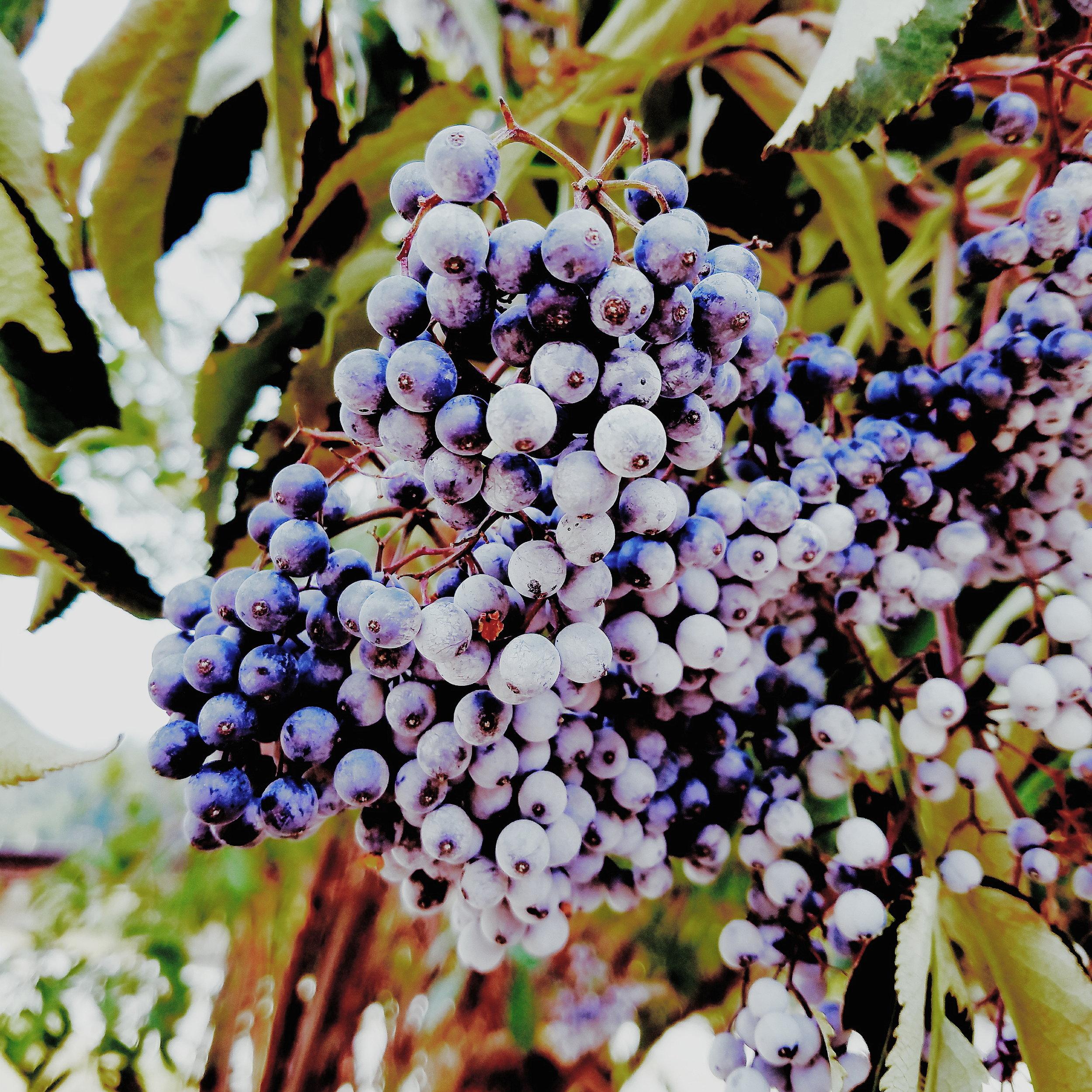 Giant clusters of ripe elderberries!
