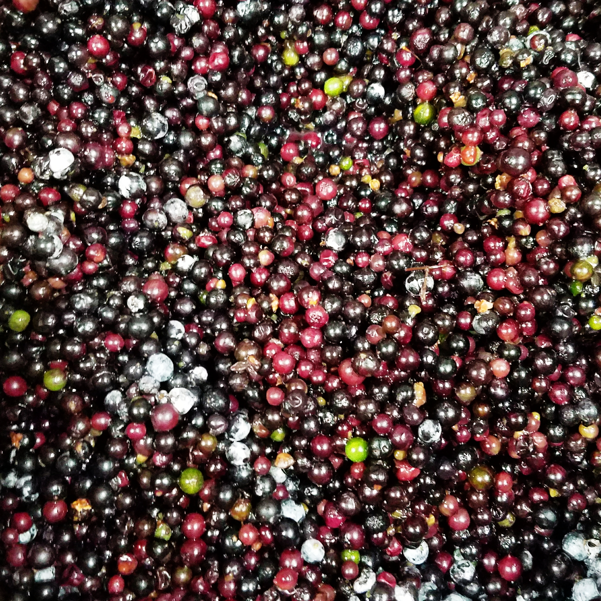 Juicing the stemmed elderberries - if only scent could be captured in a photo!