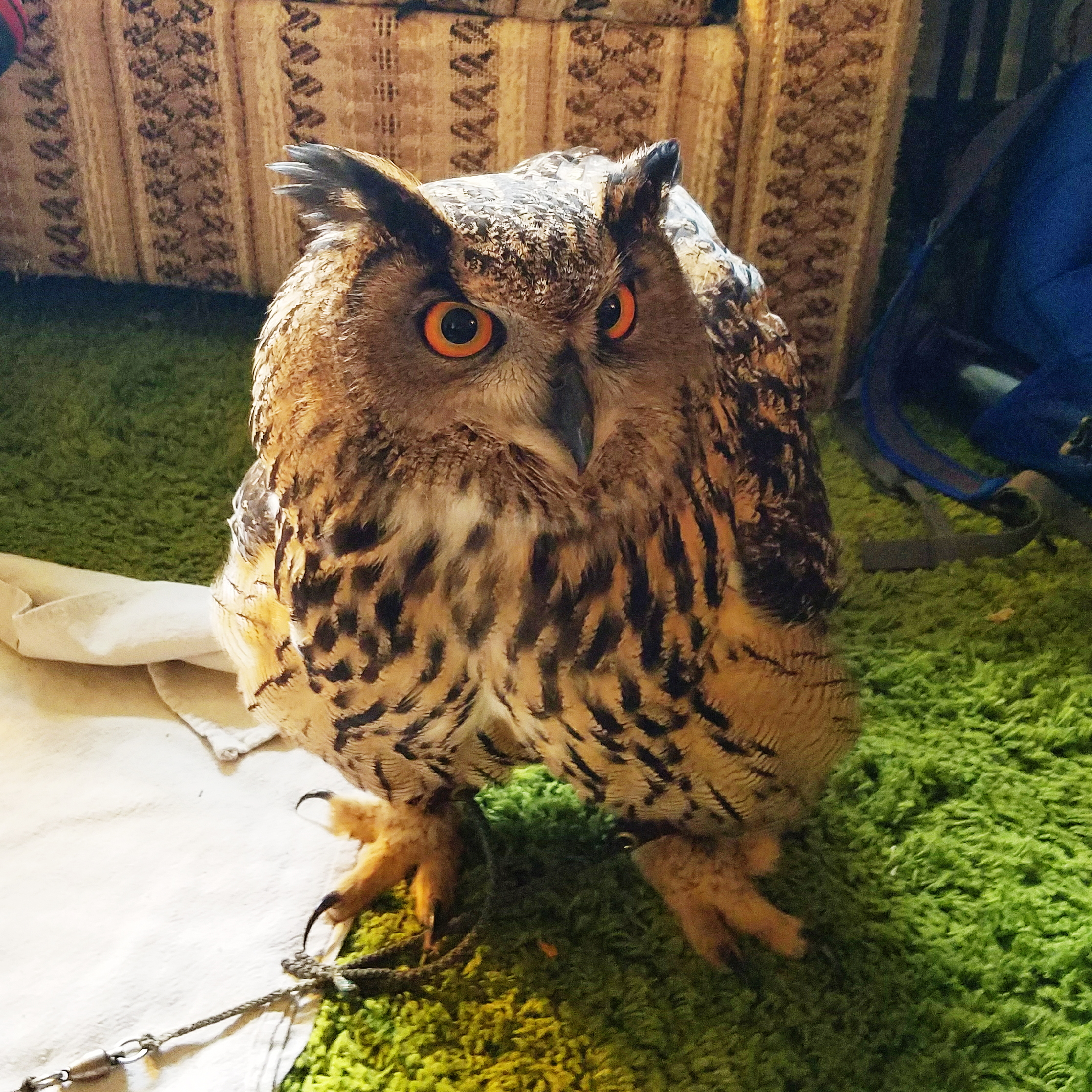 Ladybird the Eurasian eagle owl. She was SO impressive