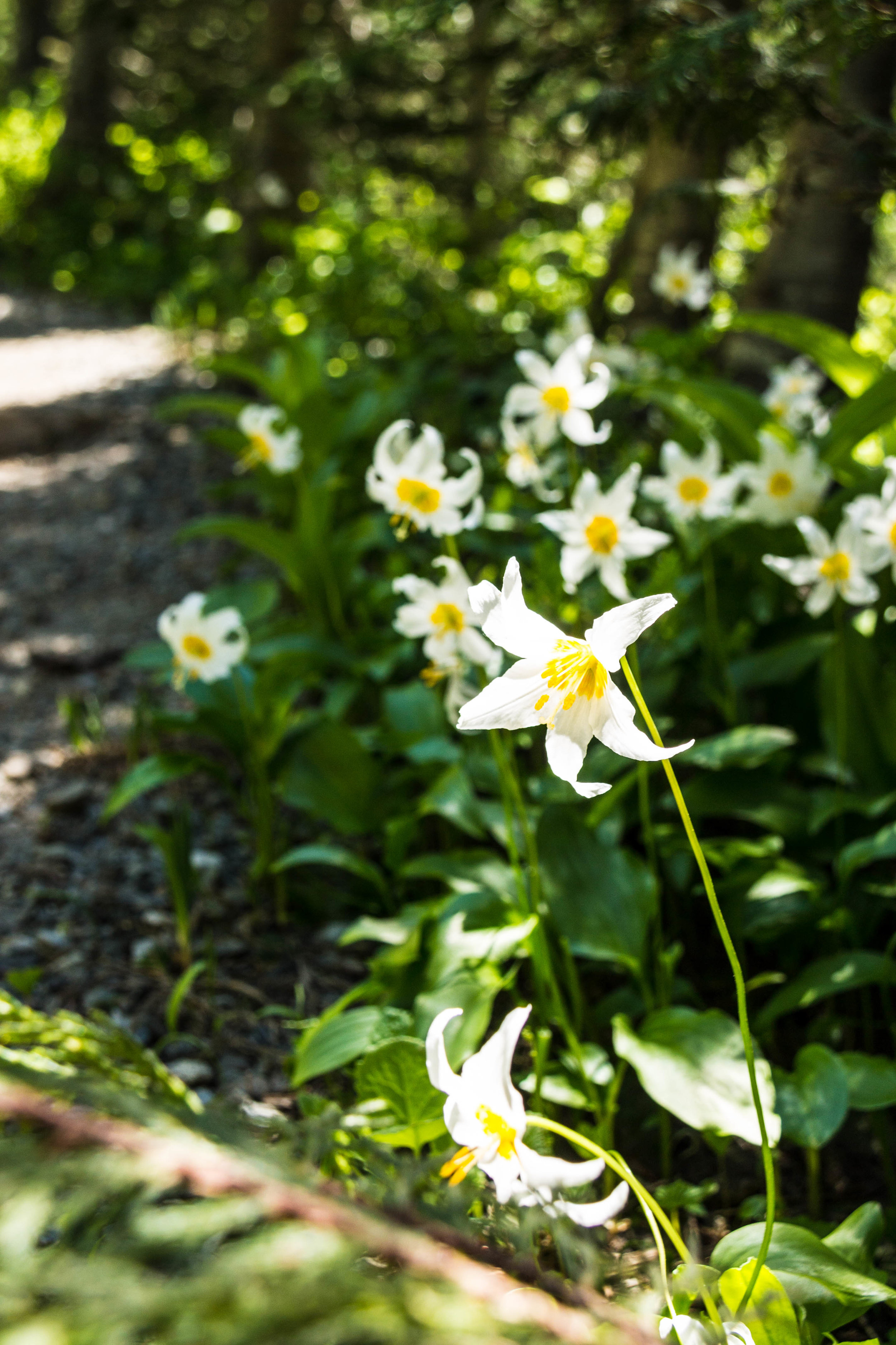 The delicate and short-lived blooms of the avalanche lily