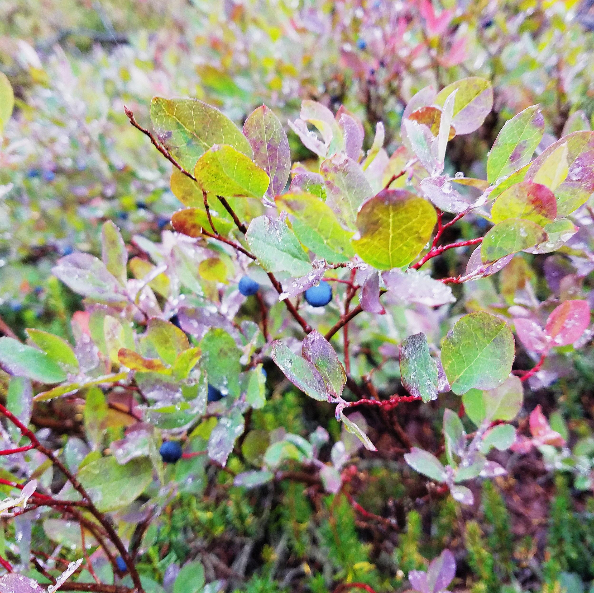 Mt Baker blueberries - my all time favorite!