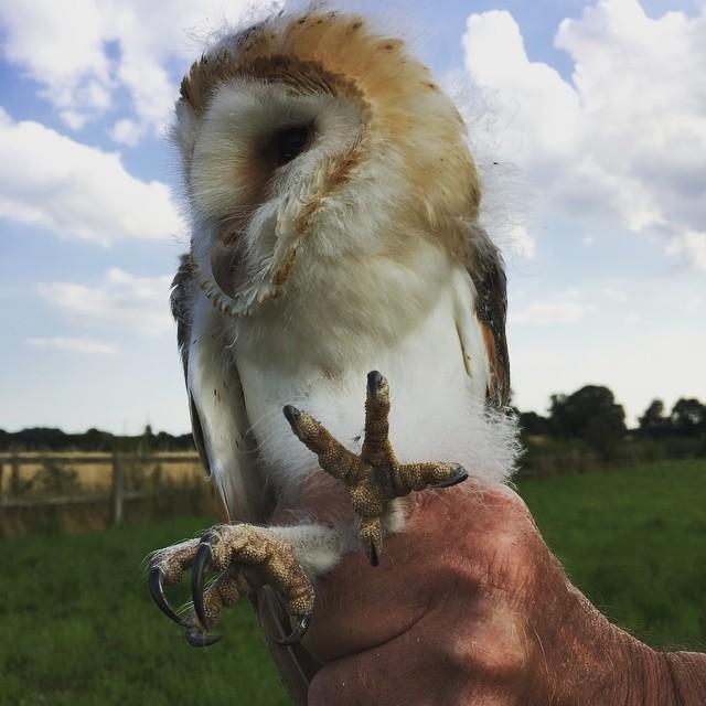 Barn Owl no 3
