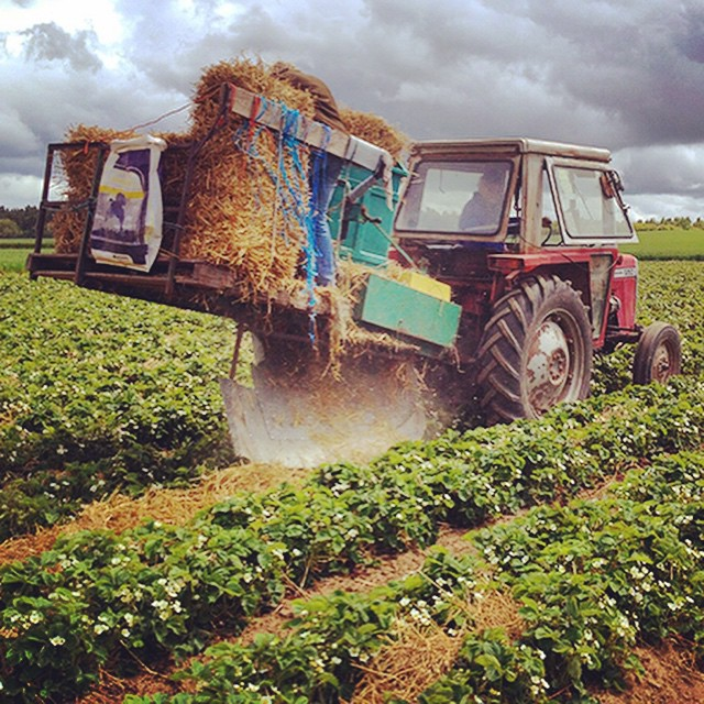 Old farmer Johnson & his ingenious strawberry strawing contraption hard at work in early June. We've got all the mod-cons here!! 🍓🚜 #allmodcos #borderberries #fruitseason #preparations #strawstrawgloriousstraw #strawberries #scottishborders #pyo