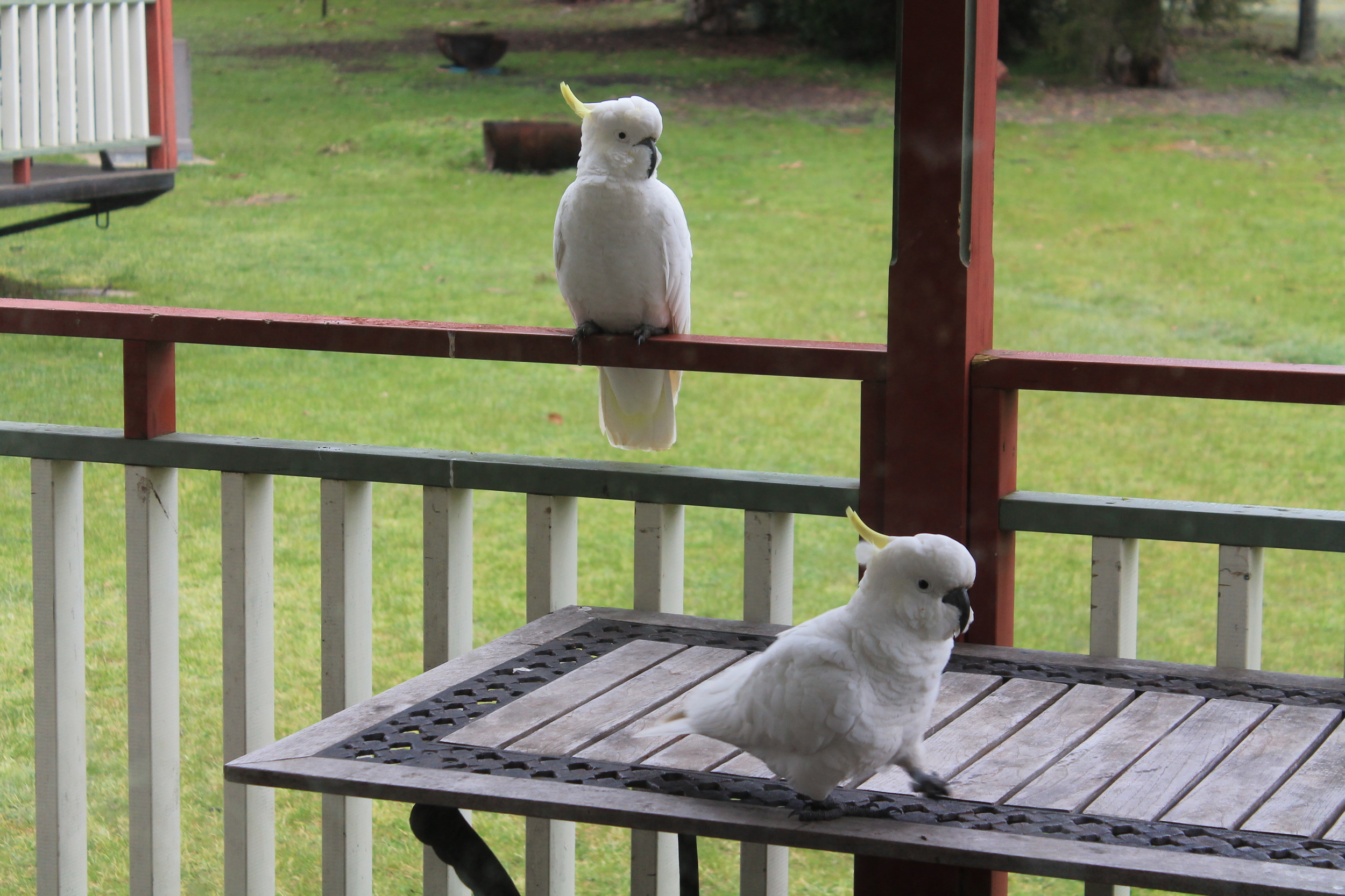 Cockatoos on our patio
