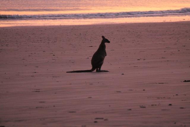 A Wallabie at Cape Hillsborough