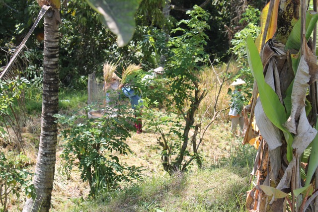 Women harvesting rice.