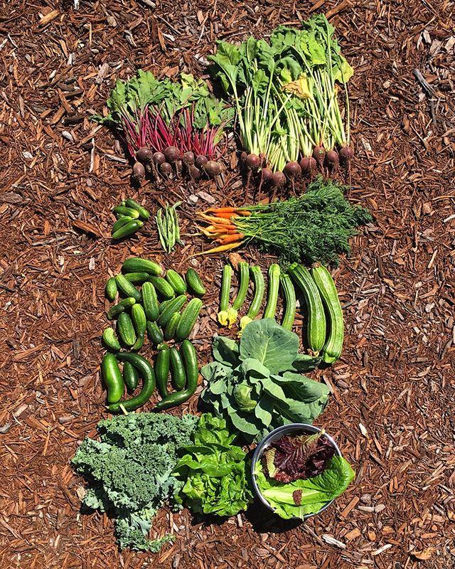 #organiccallygrown #urbanfarmer #gardentotable #homegrown #coloradogrown #growyourfoodknowyourfood #organiccallygrown #biggardenharvest #produceproducer