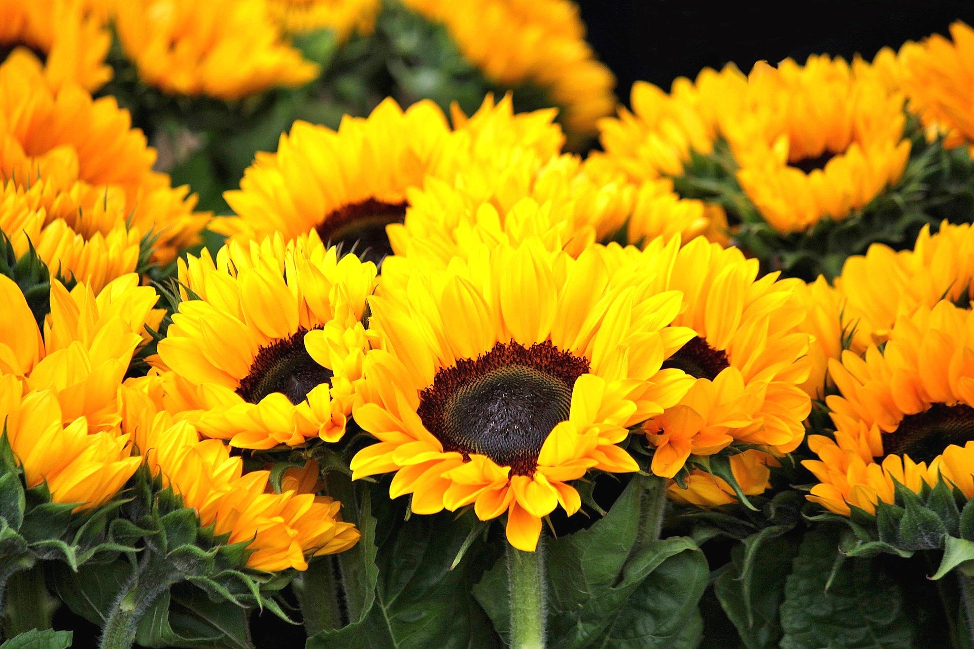sunflower-378270_1920.jpg