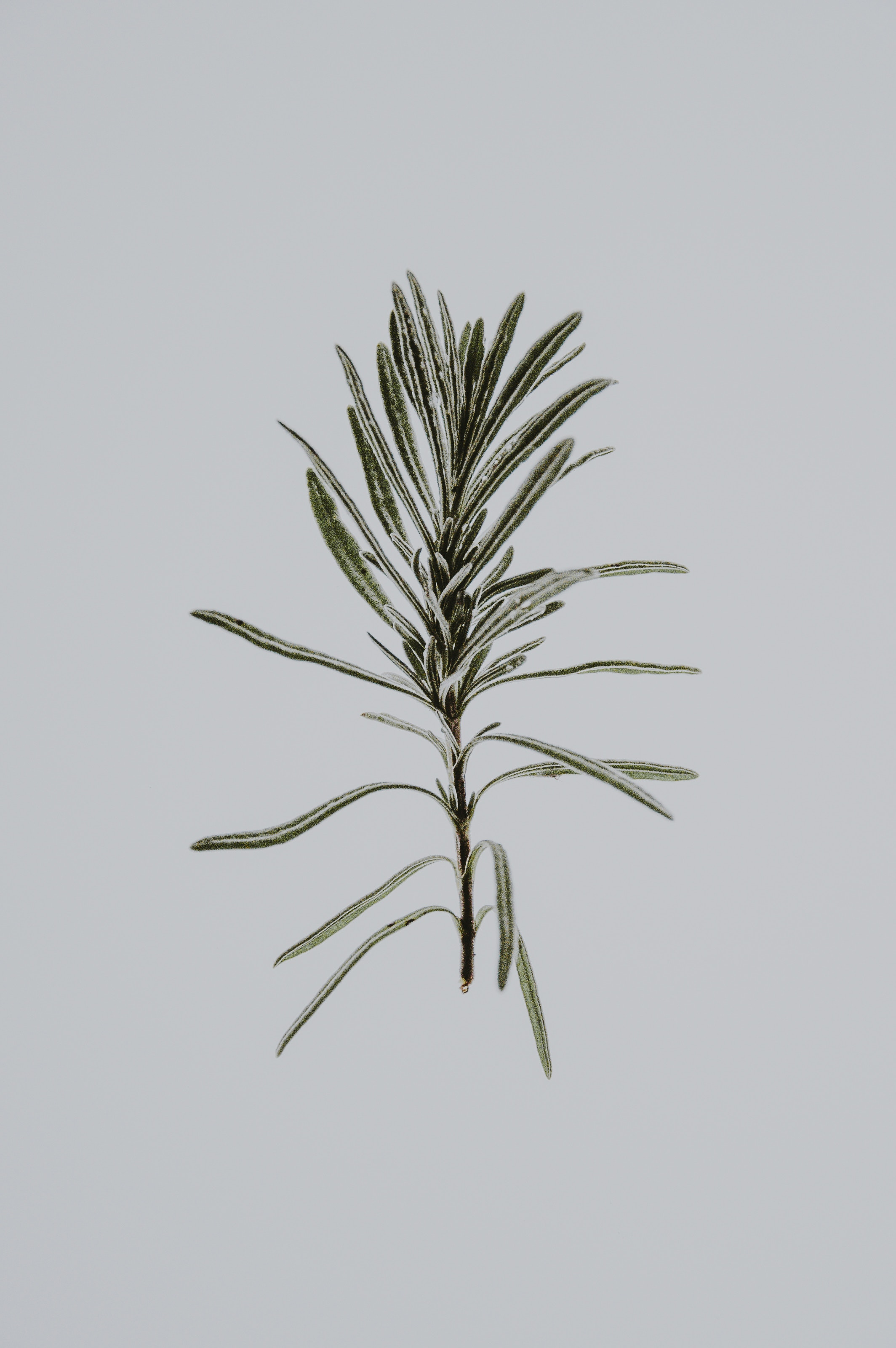 Sniff Rosemary - According to some research, catching a whiff of this aromatic herb may increase alertness and improve memory.To stay sharp, try smelling fresh rosemary or inhaling the scent of rosemary essential oil before a test, meeting, pliates class or even before playing golf!