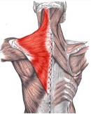The Trapezius - muscle is a broad diamond shaped muscle that has fibers running in three different directions. The upper fibers elevate the shoulders. Middle fibers assist in pulling the shoulder blades together, and the lower fibers draw the shoulder blades down.